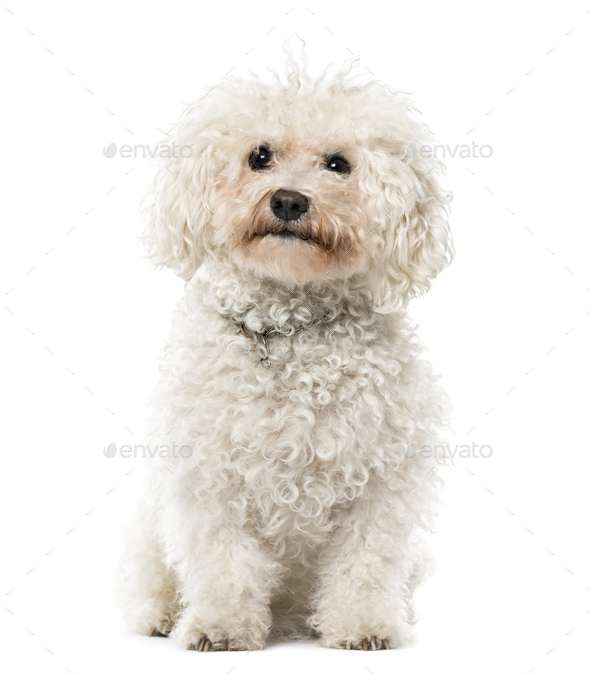 Bichon Frisé sitting, isolated on white, 9 years old - Stock Photo - Images