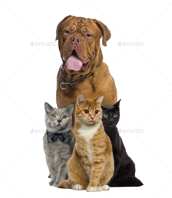 Cats and dogue de Bordeauw sitting, isolated on white - Stock Photo - Images