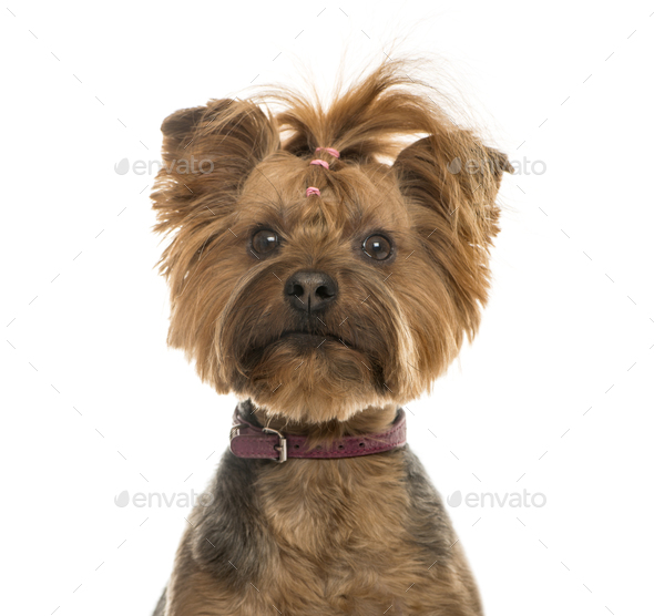 Close-up of a Yorkshire Terrier, 6 years old, isolated on white - Stock Photo - Images