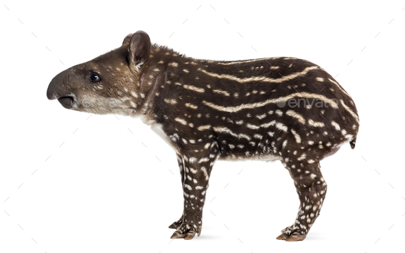 Side view of a young South american tapir, isolated on white, 41 days old - Stock Photo - Images
