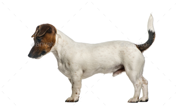 Side view of a Jack Russel Terrier standing, isolated on white - Stock Photo - Images