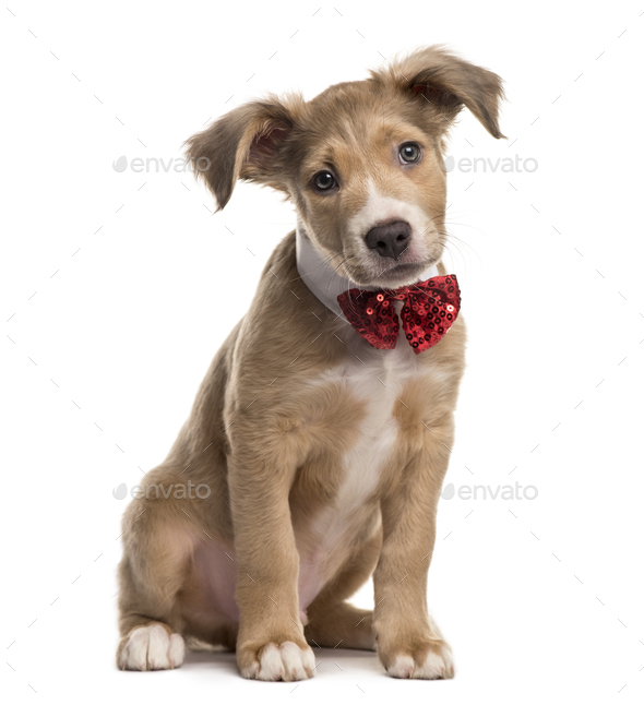 Mixed breed dog with a bow tie, isolated on white - Stock Photo - Images