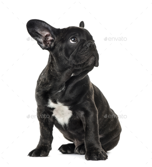 Puppy Black French bulldog sitting and looking away , isolated on white - Stock Photo - Images