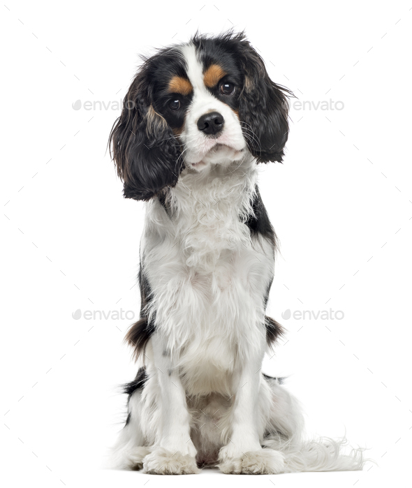 Cavalier King Charles Spaniel sitting, 10 months old , isolated on white - Stock Photo - Images