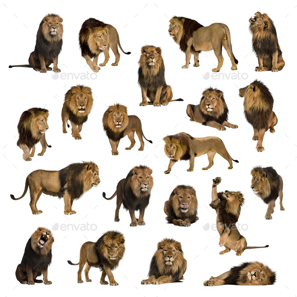 Large collection of adult lion Isolated on white background. - Stock Photo - Images