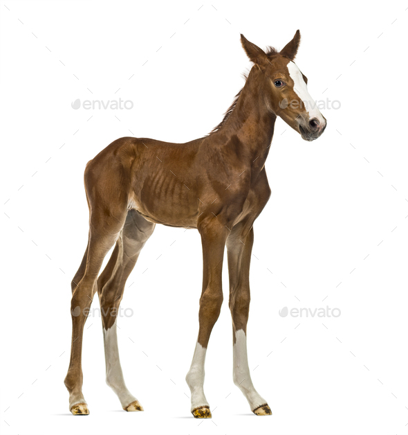 Foal looking at the camera isolated on white - Stock Photo - Images