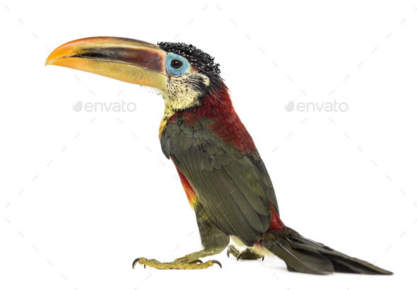 Curl-crested aracari, isolated on white - Stock Photo - Images