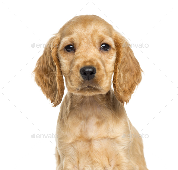 Close-up of a puppy English Cocker Spaniel, 9 weeks old, isolated on white - Stock Photo - Images