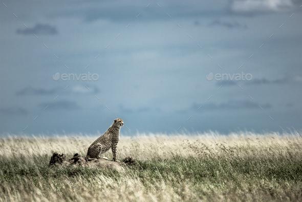 Cheetah on a mound watching around in Serengeti National Park - Stock Photo - Images