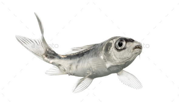 Side view of a grey koi isolated on white - Stock Photo - Images