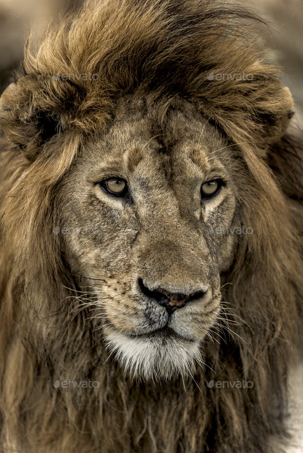 Close-up of a male lion in Serengeti National Park - Stock Photo - Images