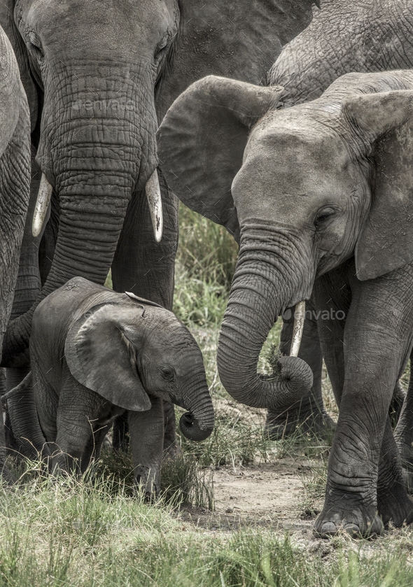 Elephant and calf in Serengeti National Park - Stock Photo - Images