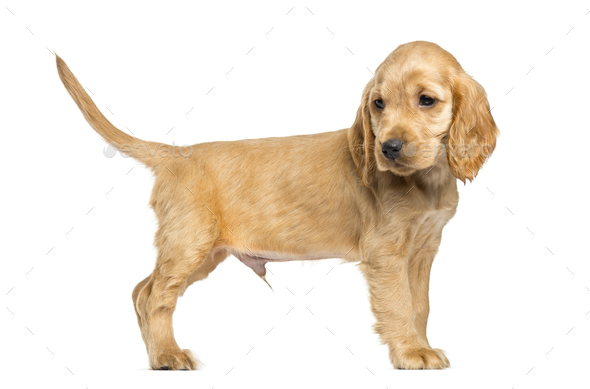Puppy English Cocker Spaniel standing, 9 weeks old, isolated on white - Stock Photo - Images
