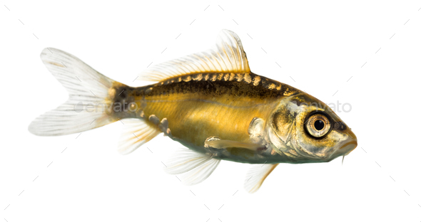 Side view of a yellow koi isolated on white - Stock Photo - Images