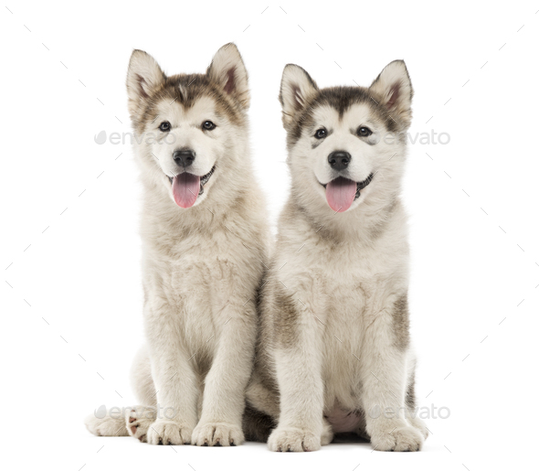 Alaskan Malamute Puppies Sitting And Panting Isolated On White Stock