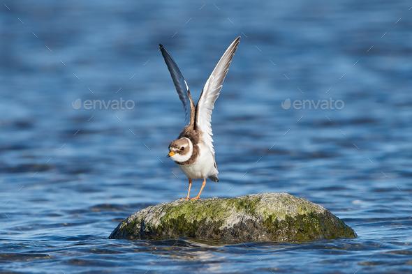 Common ringed plover (Charadrius hiaticula) - Stock Photo - Images