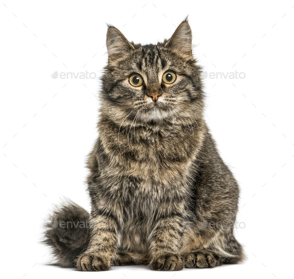 Cat sitting and looking at the camera, isolated on white - Stock Photo - Images