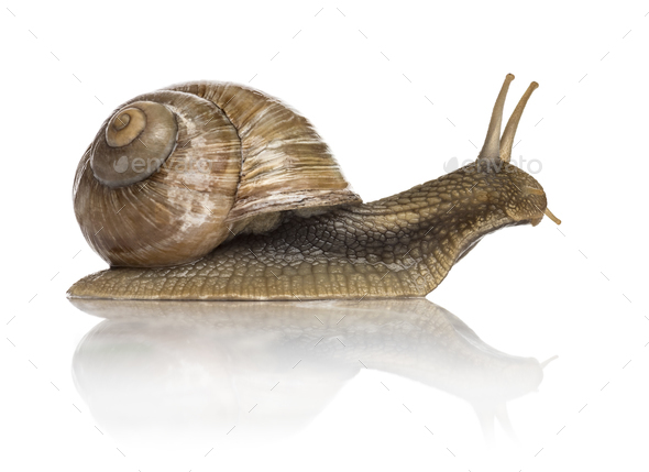 Crawling common snail, Burgundy snail or edible snail, isolated - Stock Photo - Images