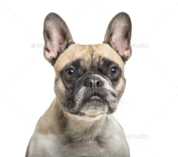 Close-up of an old french bulldog, isolated on white - Stock Photo - Images