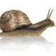 Crawling common snail, Burgundy snail or edible snail, isolated - PhotoDune Item for Sale