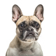 Close-up of an old french bulldog, isolated on white - PhotoDune Item for Sale