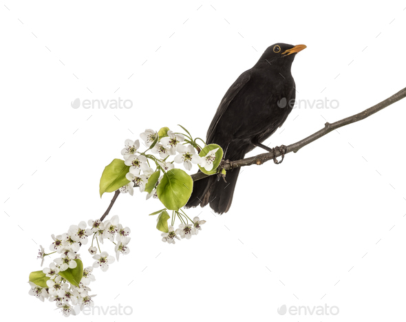 common blackbird perched on a flowering branch, isolated on whit - Stock Photo - Images