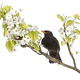 common blackbird perched on a flowering branch, isolated on whit - PhotoDune Item for Sale