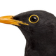 isolated close-up on a common blackbird - PhotoDune Item for Sale