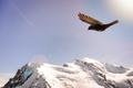 Alpine Chough (Pyrrhocorax graculus) flying against Alps mountai - PhotoDune Item for Sale