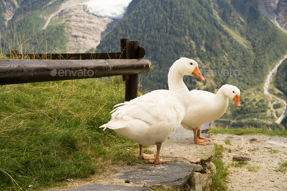 Three Geese in the Alpes of France - Stock Photo - Images