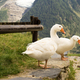 Three Geese in the Alpes of France - PhotoDune Item for Sale