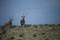 oryx - PhotoDune Item for Sale