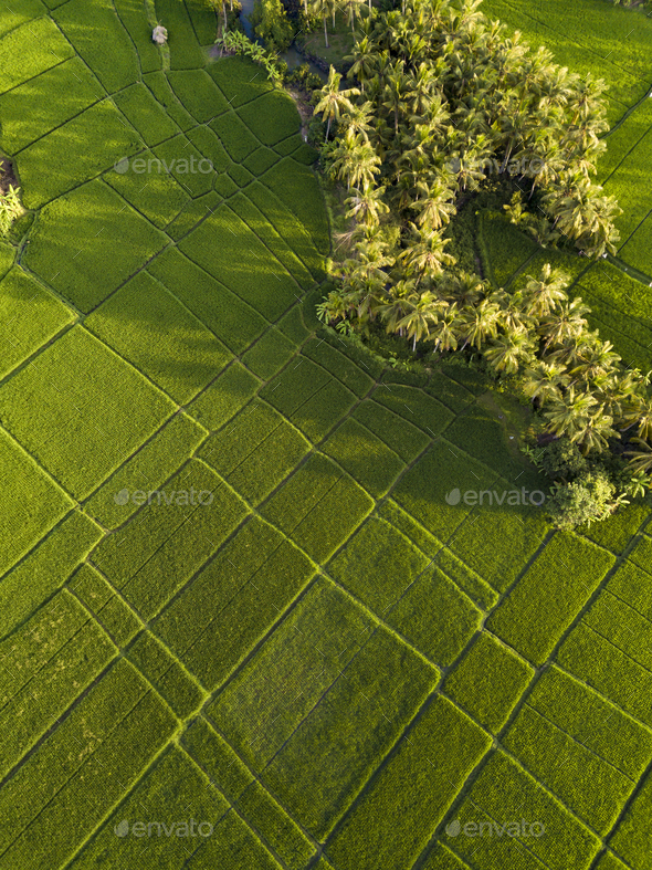 Rice fields,Bali,Indonesia - Stock Photo - Images