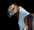 Skewbald Miniature Horse looking back on black background. - PhotoDune Item for Sale