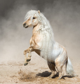 Palomino Miniature Horse with long mane rearing in dust. - PhotoDune Item for Sale