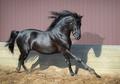 Beautiful black Andalusian horse running in paddock. - PhotoDune Item for Sale