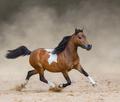 Skewbald American Miniature Horse running in dust. - PhotoDune Item for Sale