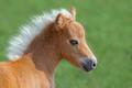 American Miniature Horse. Portrait close up of palomino foal. - PhotoDune Item for Sale