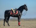 Full body portrait of black Spanish horse with portudal saddle. - PhotoDune Item for Sale