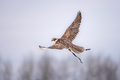 Hunting With Peregrine Falcon. - PhotoDune Item for Sale