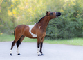 Full body portrait of skewbald Miniature Horse. - PhotoDune Item for Sale