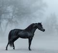 Beautiful black miniature horse standing in fog. - PhotoDune Item for Sale