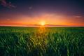 Sunset Dawn Sunrise Sky Above Rural Landscape Of Green Wheat Fie - PhotoDune Item for Sale