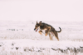 Hunting Sighthound Hortaya Borzaya Dog During Hare-hunting At Wi - PhotoDune Item for Sale