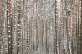 Winter Snowy Coniferous Forest During Snowy Day. Pines Trunks Ba - PhotoDune Item for Sale