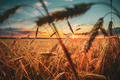 Wheat Field. Yellow Barley Field In Summer Season. Agricultural - PhotoDune Item for Sale