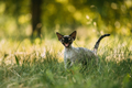 Funny Young Gray Devon Rex Kitten Meowing In Green Grass. Short- - PhotoDune Item for Sale