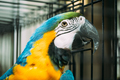 Blue-and-yellow Macaw Also Known As The Blue-and-gold Macaw In Z - PhotoDune Item for Sale