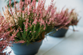 Calluna Plant With Pink Flower In Pot In Store Market - PhotoDune Item for Sale