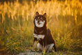 Beautiful Young Black And Tan Shiba Inu Dog Sitting Outdoor In G - PhotoDune Item for Sale